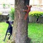 Dog and Red Squirrel Play Ring Around the Tree Trunk