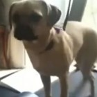 Dog Doesn't Know How to Treadmill Properly