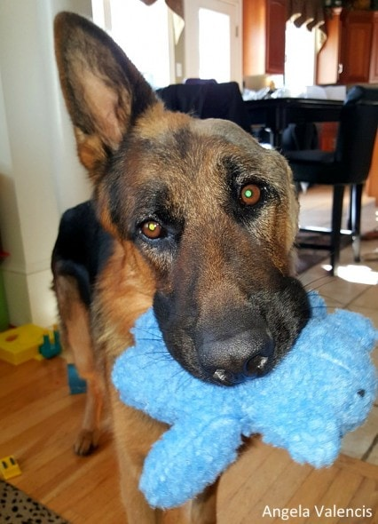 8.26.16 - Jalk - German Shepherd Missing Ear10