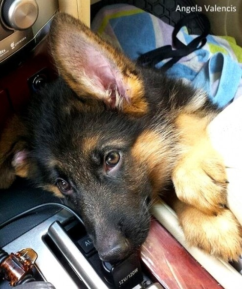 8.26.16 - Jalk - German Shepherd Missing Ear2