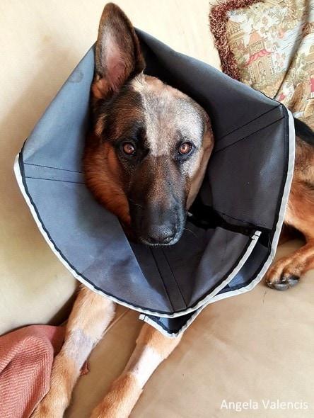 8.26.16 - Jalk - German Shepherd Missing Ear6
