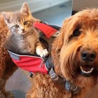 This Kitty Makes His Dog Best Friend Carry Him EVERYWHERE!
