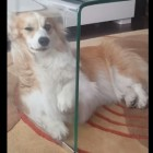 Adorable Corgi Has Trouble with the Concept of a Glass Coffee Table