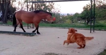 Super Excited Dog Tries to Befriend Horses, But They're Just Not Having It.