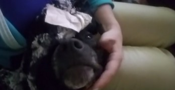 Big Baby Dog PURRS LIKE A KITTY when Someone Gives Him Pets!
