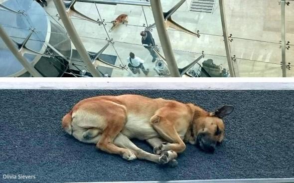 8.8.16 - Flight Attendant Adopts Hotel Dog4