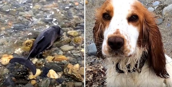 8.8.16 - Hero Dog Saves the Life of a Stranded Baby Porpoise