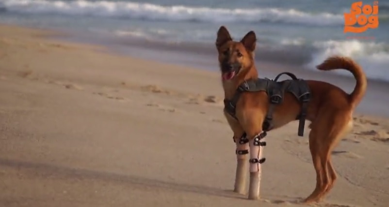 PUPDATE! Cola Gets to Have Some Fun at the Beach on His New Legs