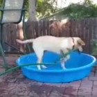 Adorable Dog Tries to Fill Kiddy Pool With Hose