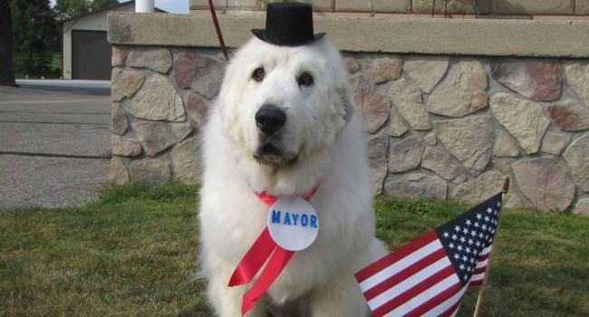 Mayor Duke Makes Minnesota Great (Pyrenees!) Again