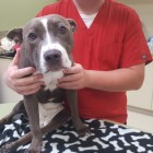 Paralyzed Pittie Gets Off the Kill List and onto Some New Wheels!