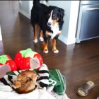 Bernese Mountain Dog and His Adopted Chihuahua Siblings Having Some Fun