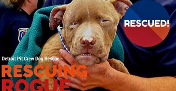 Cruelty Tip Leads to Amazing Rescue of a Pit Bull Puppy by the Detroit Pit Crew