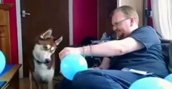 How to Confuse a VERY Serious Looking Husky With a Balloon