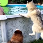Drogo the Husky Doesn't Want to Wait for Pool to Be Cleaned Out to Swim