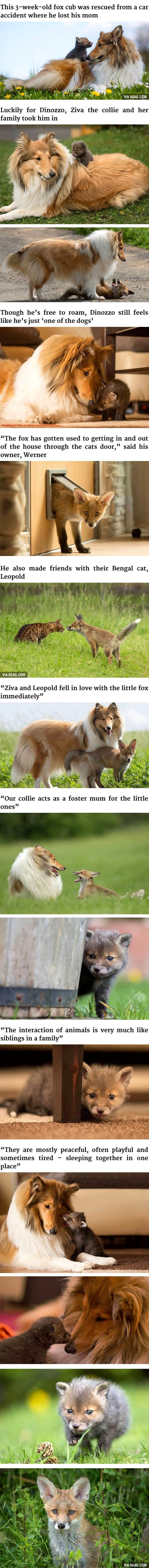 9-15-16-fox-collie1