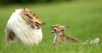 Ziva and DiNozzo:  A Love Story Between a Collie and Her Fox Kit