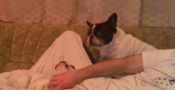 Frenchie Gets Extra Pushy for Attention from Dad