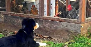 Puppy With Chickens for Siblings Is Determined to Be One of the Gang