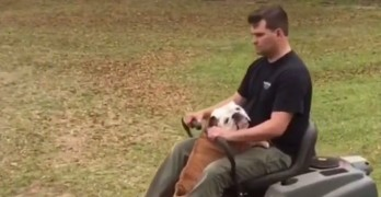 Gerald the Bulldog Likes to Help His Humans Mow the Lawn