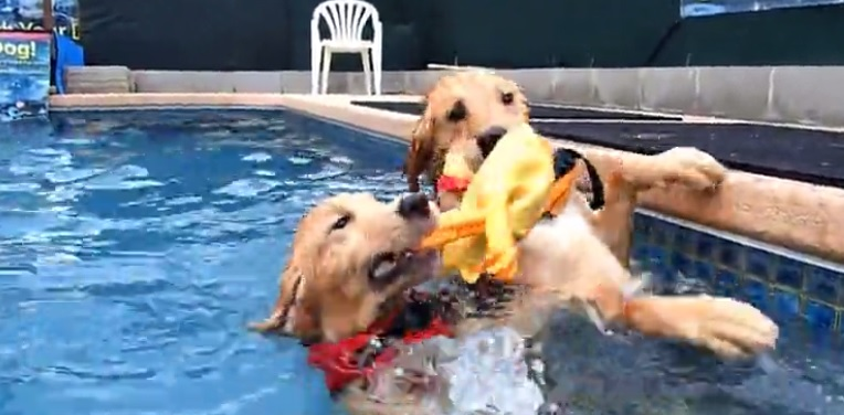 Goldens Enjoy a Bit of Pool Tug-of-War With a Rubber Chicken