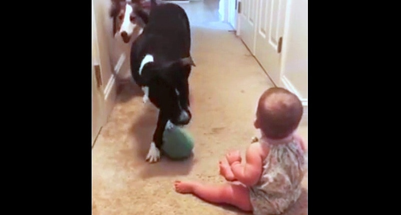 Pit Bull Fruitlessly Tries to Teach a Baby How to Play Fetch