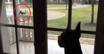 Pesky Squirrel Annoys a Great Dane from a Safe Distance