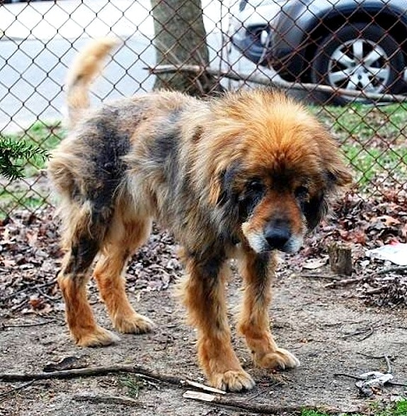 9-23-16-mangy-senior-dog-escapes-his-home-gets-help-for-his-neglected-siblings1