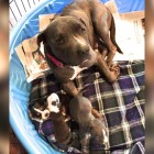 Pit Bull Mama Loses two Pups but Still Adopts an Orphaned Beagle in Need