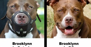International Call for Help as Montreal Enacts New Anti-Pit Bull BSL
