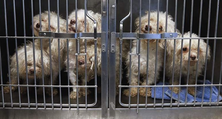 After Many Attempts, Ohio Humane Society FINALLY Rescues 34 Havanese Dog