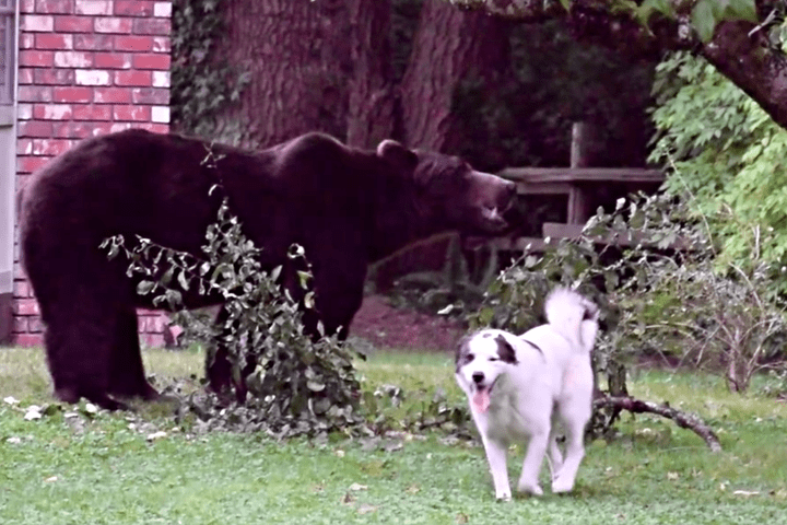 Bear Wanders onto Canadian Farm to Eat Fruit and Ignores Dog Security Guard