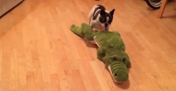 French Bulldog Wrestles an Alligator!