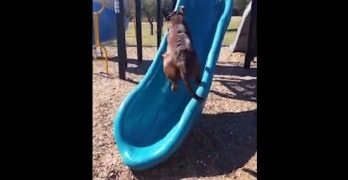 Dog Isn't Very Clear on What End of the Slide Is for What and Fails