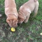 9-30-16-lemon-shar-peis