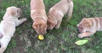 Shar Pei Puppies Meet Their First Ever Lemon Slice