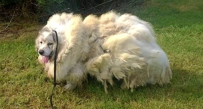 Dog Forced to Live in a Barn for 6 Years Loses 35 POUNDS With One Haircut!