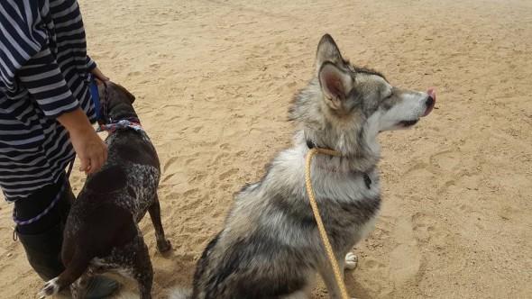 9-9-16-wolf-dog13