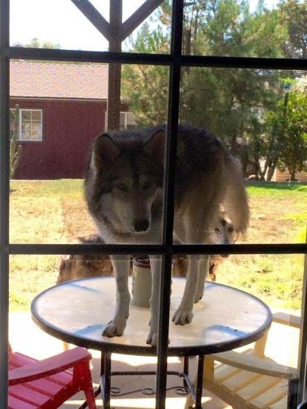 9-9-16-wolf-dog8