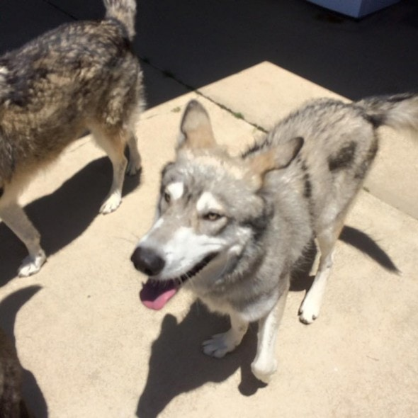 9-9-16-wolf-dog9