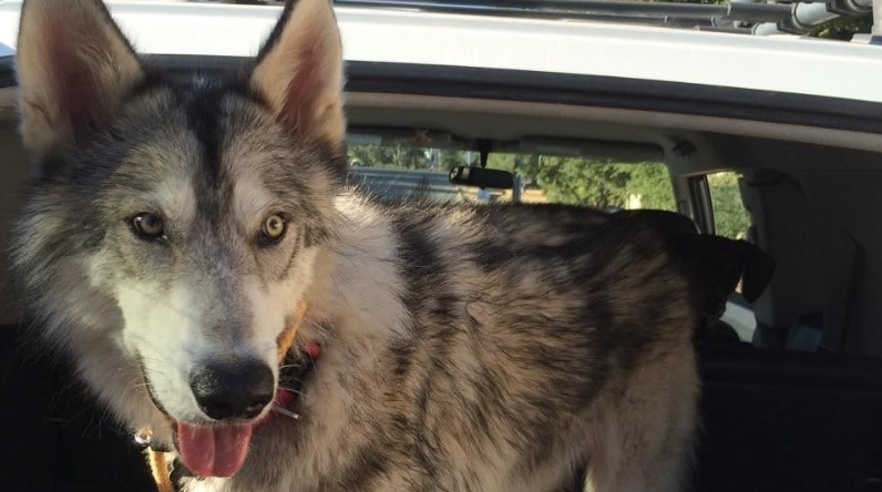 Wolf Dog Forced to Live in Crate in Dorm Room Is Rescued and Adopted