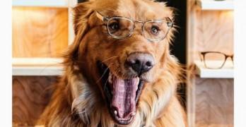 "Golden Boy: Is Aspen the New ""It"" Dog of Instagram?"