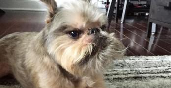 Meet Ziggy! Grumpy Griffon Gives Good Face!