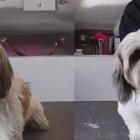 Stunning Transformation: Max the Shih Tzu's Makeover!