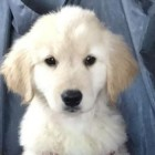Finding Dorie! Pup Stolen from Service Dog Training Facility