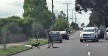 Hoppin' Mad? Kangaroo-Dog Standoff Stops Traffic in Australia