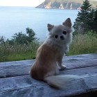 Chihuahua Takes on the Great Outdoors of Nova Scotia