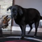 "Rescue Raccoon Has ""Battle Royal"" With Dog Best Friend"