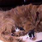 Rockne, Kitten Foster Dad Extraordinaire