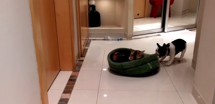 Frenchie Reclaims His Bed from the Mean Old Cat